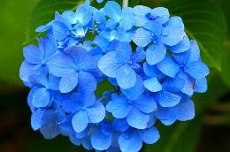 Hoe Kan Je Hortensia Blauwen