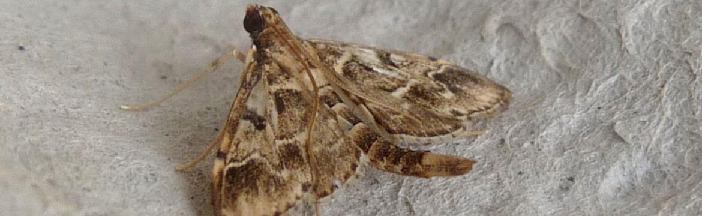 Duponchelia