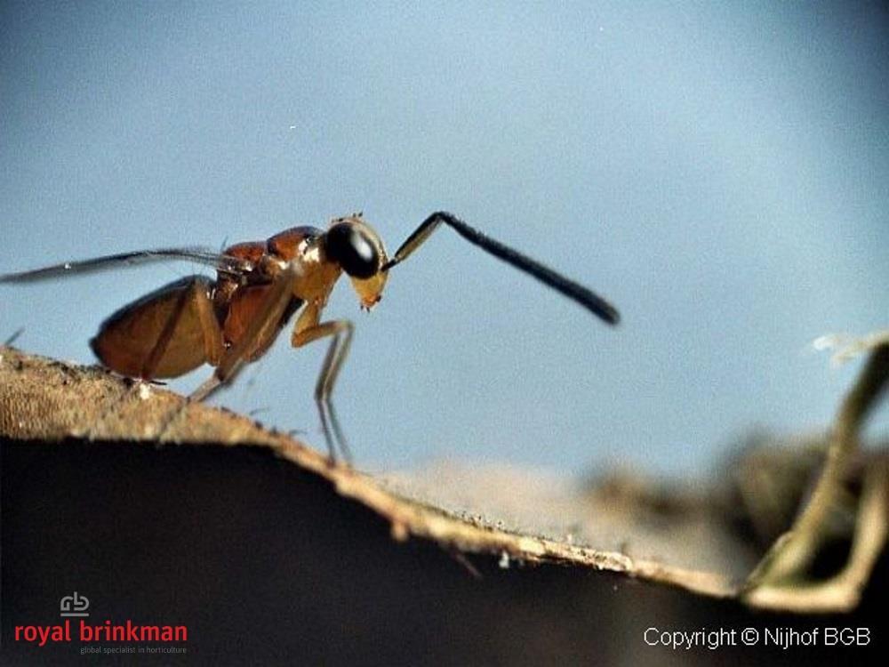 Leptomastix dactylopii (40) blister