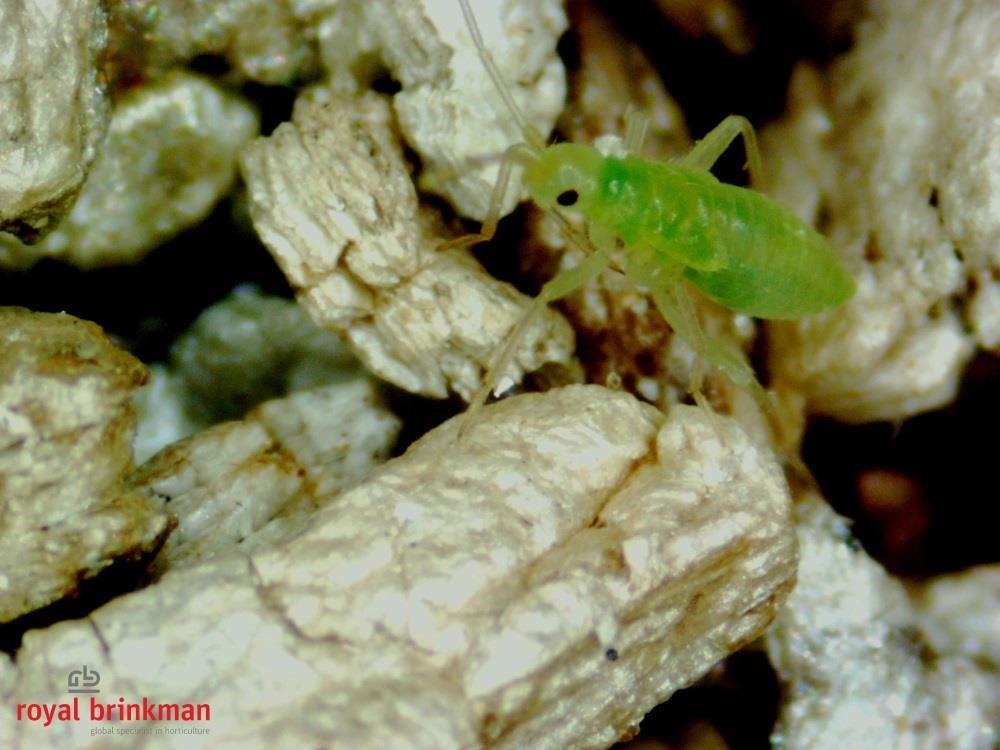 MACROcontrol Macrolophus pygmaeus [500 nimfen] (AB1)